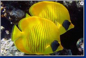 masked-butterflyfish
